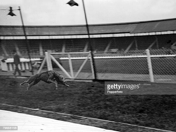 Dog racing London England 13th May 1931 Famous greyhound Mick The Miller racing around the track during a trial over the Derby Course at White City...
