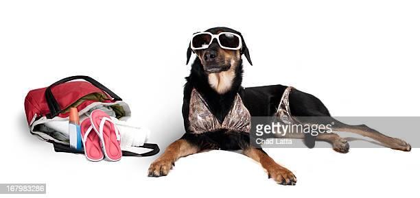 A dog ready for the beach.