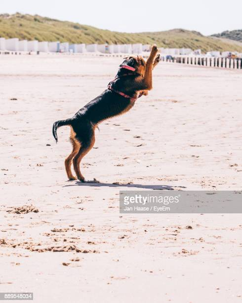 Dog Rearing Up On Sand At Beach