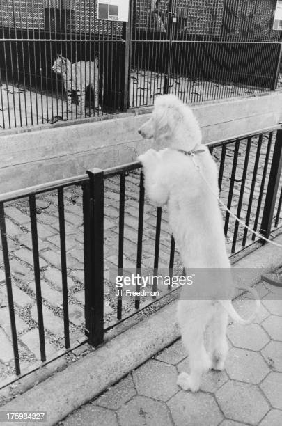 A dog regards a wild cat in Central Park Zoo New York 1970