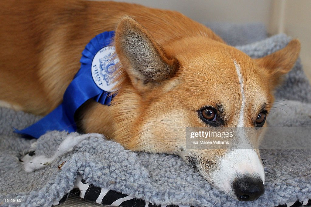 A dog relaxes with it's winning ribbon during the Purina Sydney Royal Dog Show at the Sydney Royal Easter Show on March 22, 2013 in Sydney, Australia. Organisers are expecting over 900,000 visitors to the annual agricultural event, the largest of its kind in Australia. The Easter Show marks its 190th show since opening in Paramatta in 1823.
