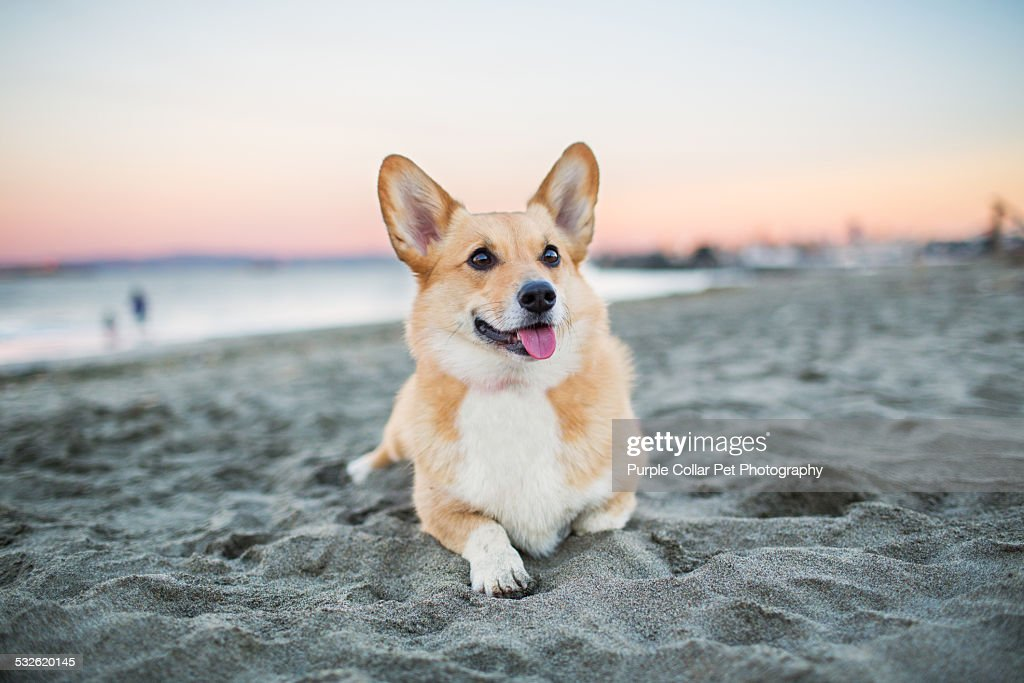 Dog Relaxing on Beach at Sunset