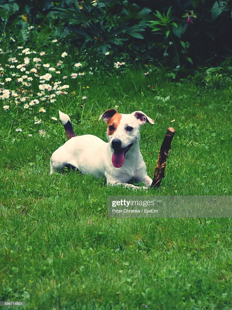 Dog Relaxing On Grassy Field Stock Photo Getty Images