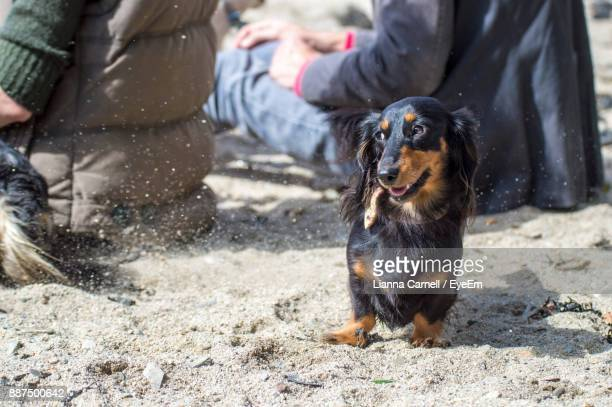 Dog Relaxing On Sandy Beach During Sunny Day
