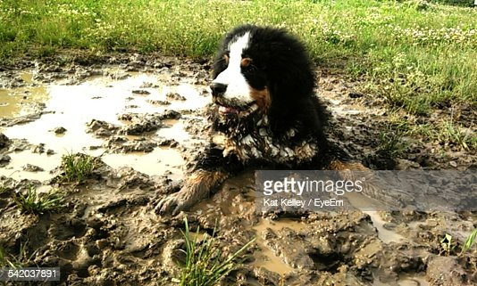 Dog Relaxing On Wet Mud At Field