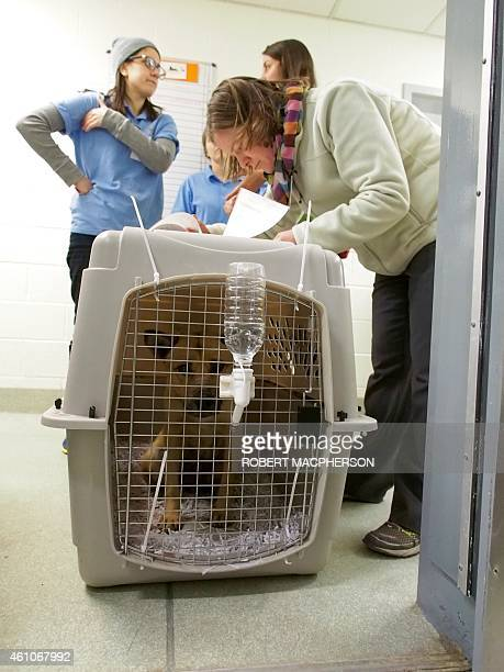 A dog rescued from a dog meat farm in South Korea arrives at the Animal Welfare League of Alexandria shelter on January 5 2015 A total of 23 dogs...