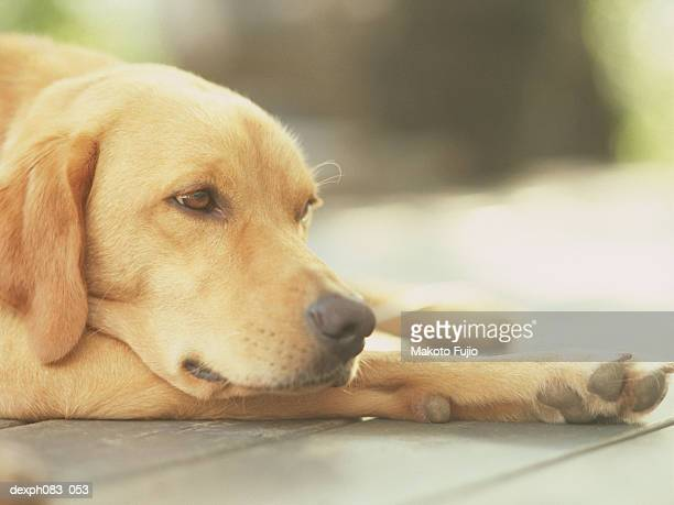Dog resting, close-up
