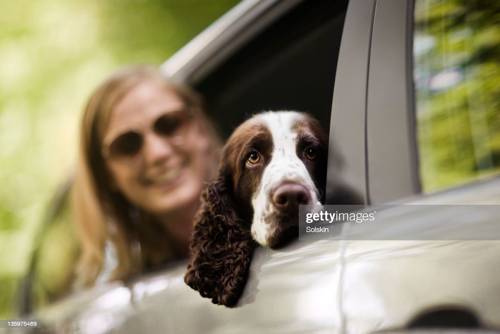 Dog resting head in open car window : Stock Photo