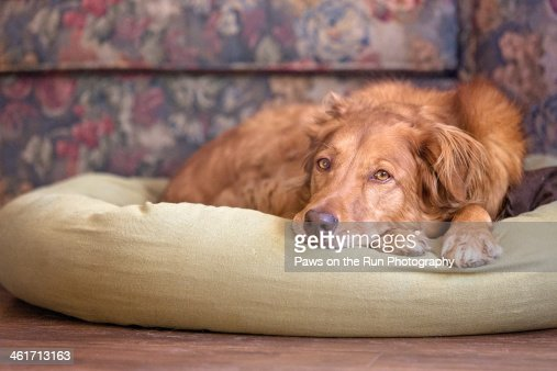 Dog resting on pillow : Stock Photo