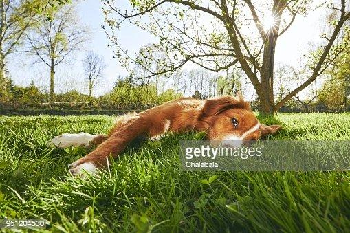 Dog resting on the garden : Stock Photo