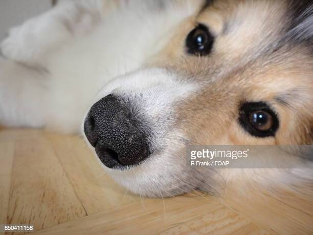 Dog resting on wooden table
