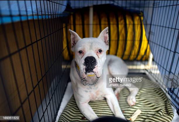 A dog rests in a cage at an animal shelter for tornadodisplaced pets on May 23 2013 in Moore Oklahoma Monday's tornado in this Oklahoma City suburb...