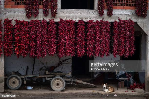 A dog rests in front of a house drapped with threads of red paprika in the village of Donja Lokosnica near the city of Leskovac Southern Serbia on...
