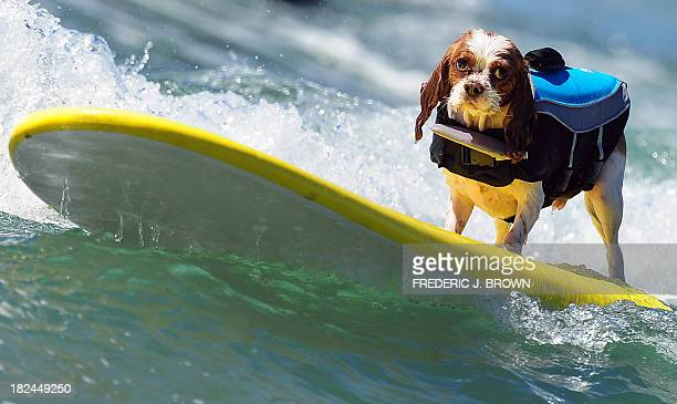 A dog rides a wave while competing during the 5th Annual Surf Dog competition at Huntington Beach California on September 29 2013 AFP PHOTO/Frederic...