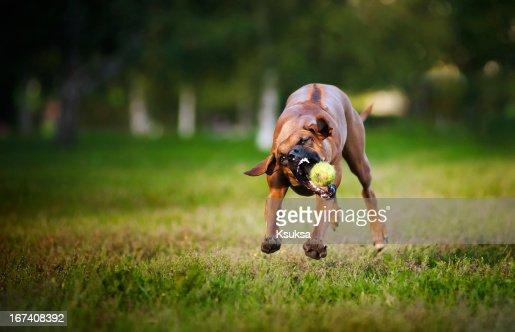 dog ridgeback playing with ball : Stock Photo