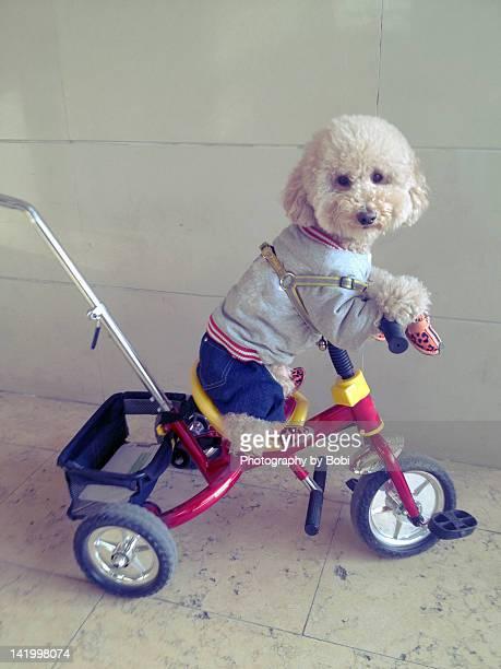 Dog riding bicycle