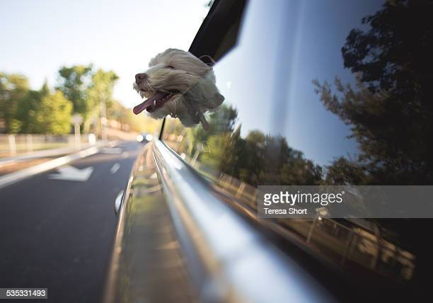 Dog riding in car with head out window