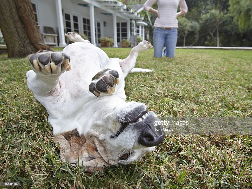 Dog rolling over on grass, woman in background