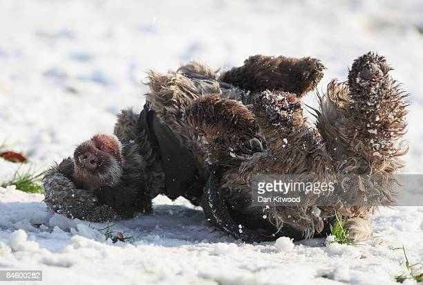 A dog rolls in the snow on Primrose Hill on February 03 2009 in London England Commuters across the country are still facing widespread disruption to...