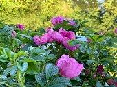 Dog rose blossom pink flower