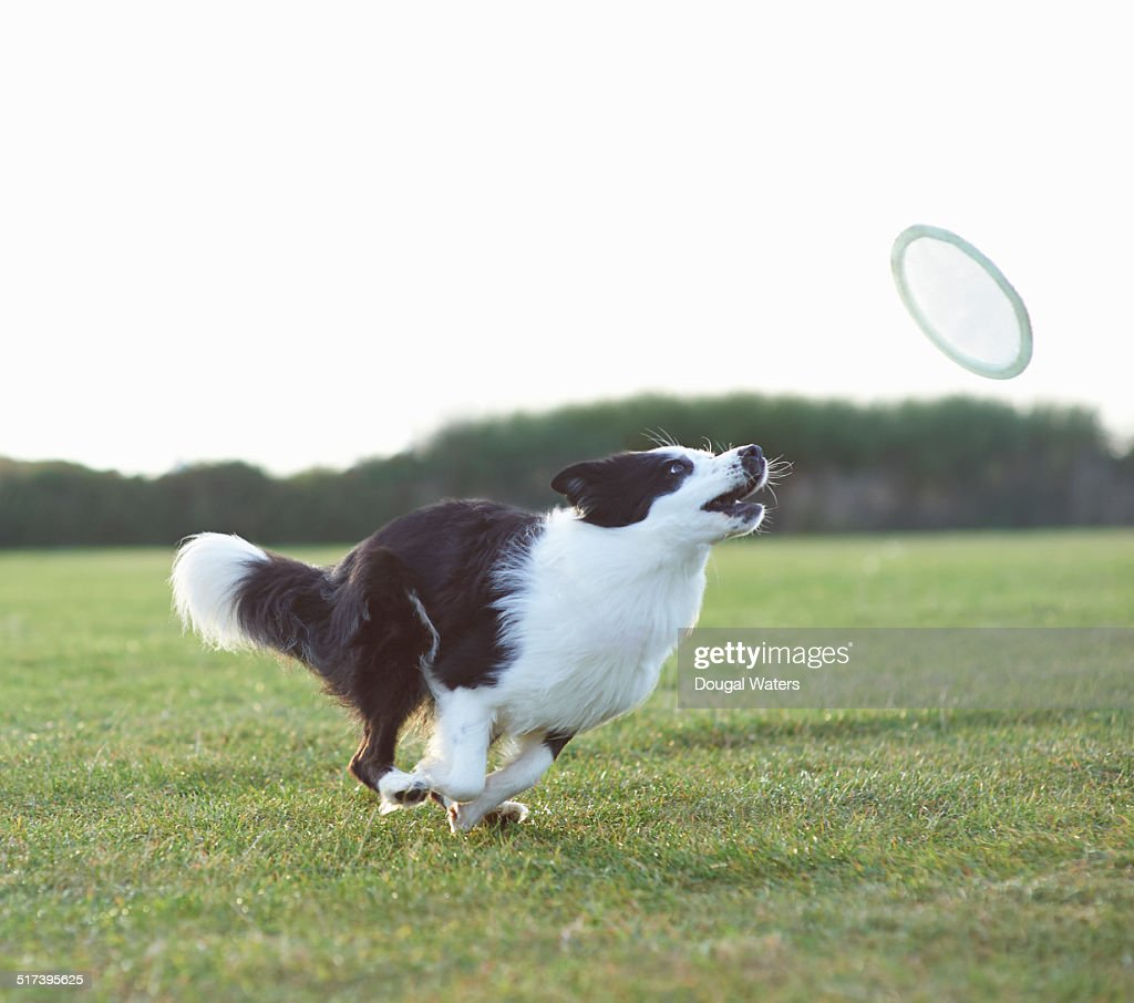 Dog running for frisbee in field.