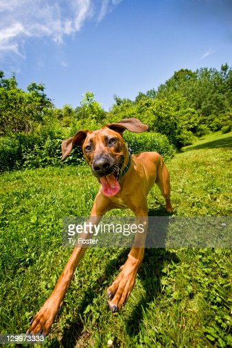 rhodesian ridgeback stock photos and pictures getty images