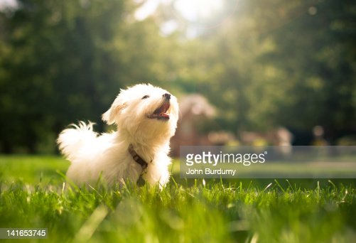 Dog running in Maltese on grasses : Stock Photo