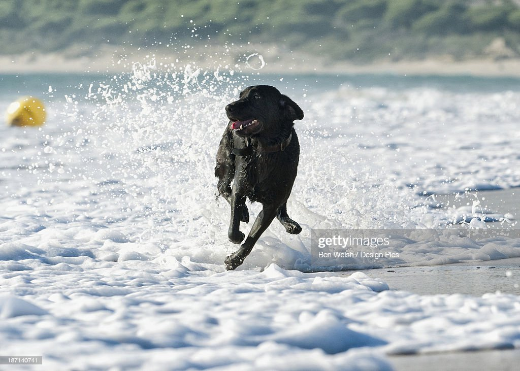 A Dog Running In The Tide Along A Beach To Fetch A Ball : Stock Photo