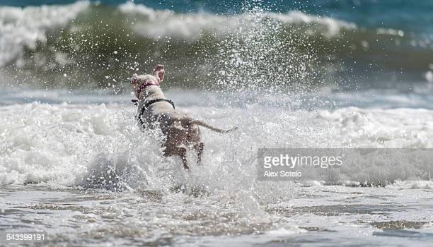 Dog running into waves
