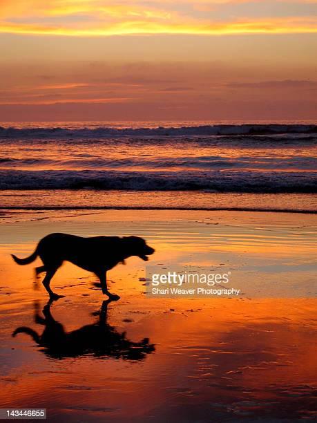 Dog running on beach at sunset