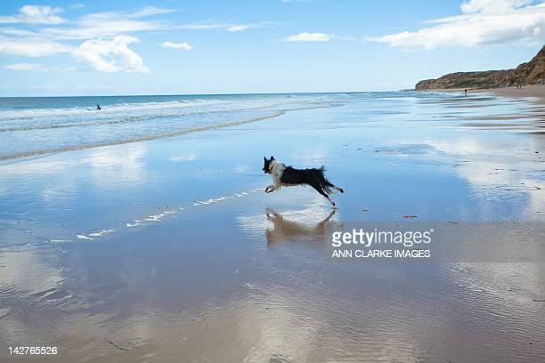 Dog running on pristine beach