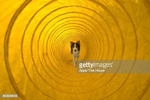 Dog running through agility tunnel