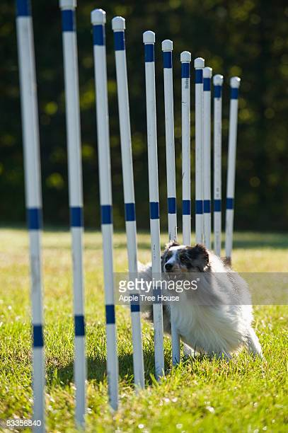 Dog running through weave poles on agility course