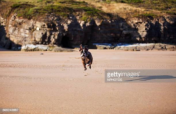 Dog running to the camera