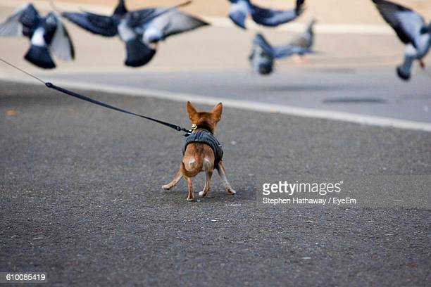 Dog Running Towards Flock Of Birds On Street