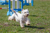 Dog running towards hurdle on its course in agility competition