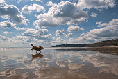 A dog runs across a very reflective beach at Charmouth in Dorset, England