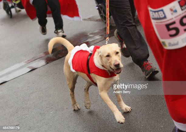 A dog runs alongside a participant in the 5th annual Michendorf Santa Run on December 8 2013 in Michendorf Germany Over 900 people took part in this...