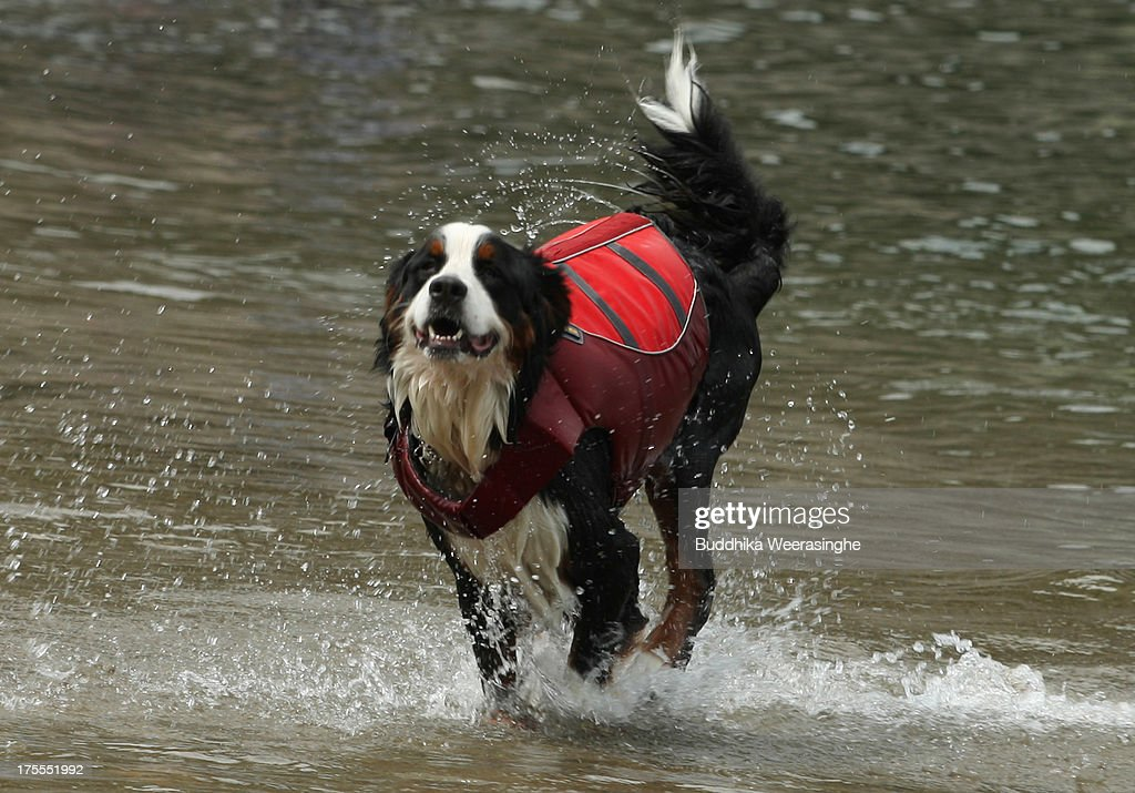 A dog runs at Takeno Beach on August 4, 2013 in Toyooka, Japan. This beach is open for dogs and their owners every summer between the months of June and September. .