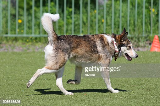 dog runs during training : Stock Photo