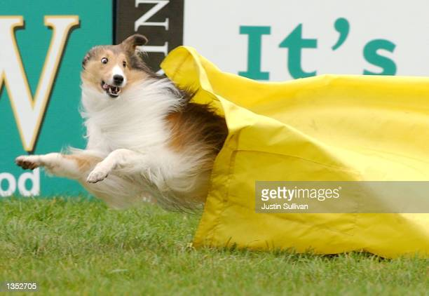 A dog runs out of a chute during the dog agility competition at the Purina Dog Chow Incredible Dog Challenge August 24 2002 in San Francisco...