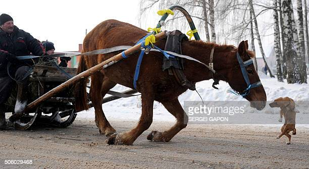 A dog rushes at a horse as it slips on the icy road during the Kolyada holiday celebrations in the village of Martsiyanauka some 110 kilometers east...