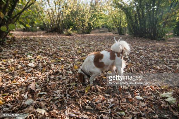 A dog searches for a truffle on October 17 2017 in the Barolo region Italy Because of the high summer temperatures Barolo's harvest has been...