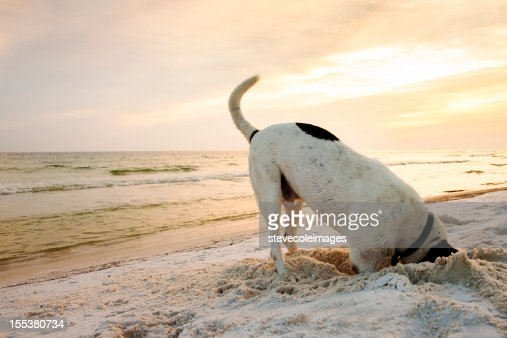 Dog Searching on Beach