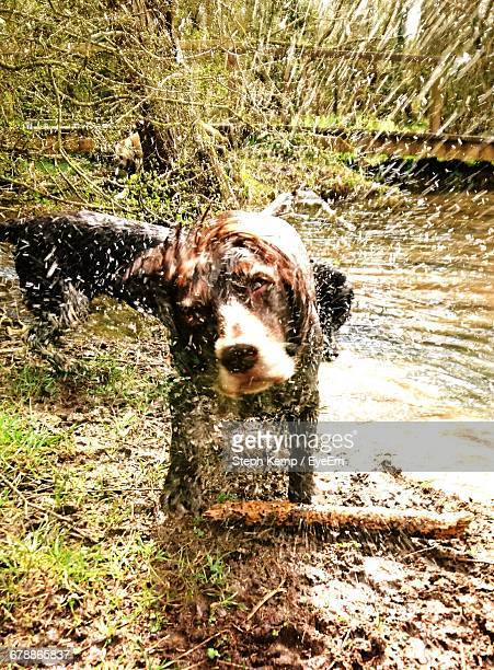 Dog Shaking Off Water At Riverbank