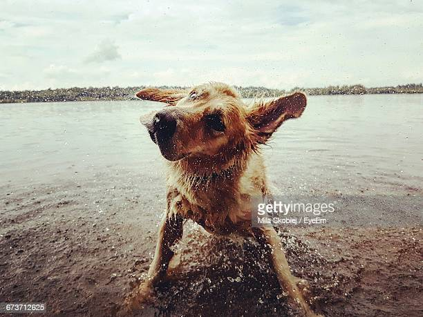 Dog Shaking Off Water In Lake