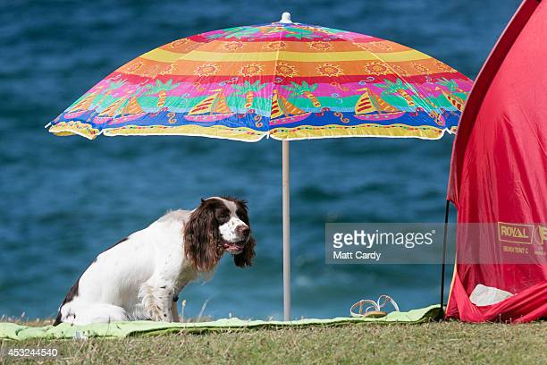 A dog shelters under a sun shade as people gather on Fistral Beach on the first day of the Boardmasters surf and music festival in Newquay on August...