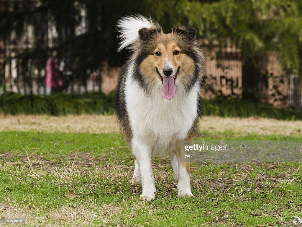 Dog, Shetland sheepdog waiting to play in field : Stock Photo
