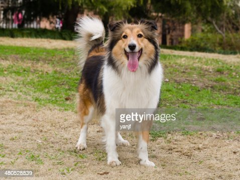Dog, Shetland sheepdog waiting to play in field : Stock Photo