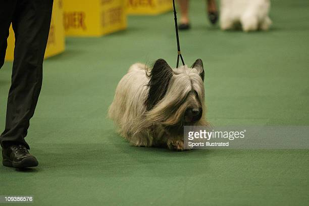 135th Westminster Kennel Club Dog Show Skye Terrier Grand Champion Cragsmoor also known as Buddy Goodman during Best in Group at Madison Square...